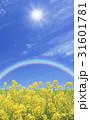 菜の花と太陽と虹 31601781