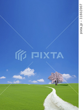 サクラの木と白い道 31602007