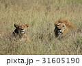 ライオン 31605190