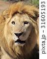 ライオン 31605193
