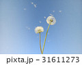 風で飛んで行くタンポポの種 31611273