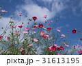 コスモス 花 花畑の写真 31613195