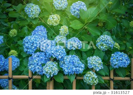 庭園の紫陽花 31613527