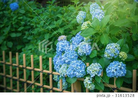 庭園の紫陽花 31613528