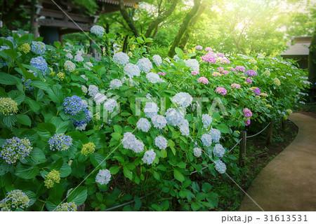 庭園の紫陽花 31613531