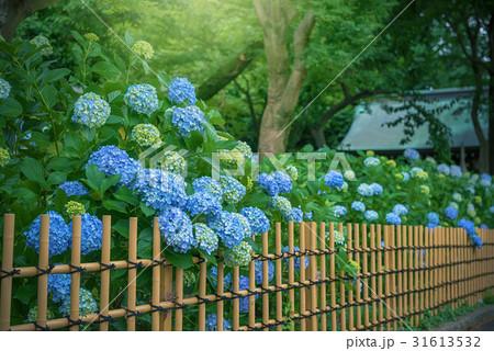 庭園の紫陽花 31613532