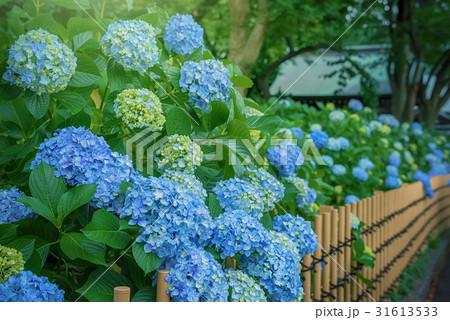 庭園の紫陽花 31613533