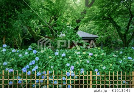 庭園の紫陽花 31613545