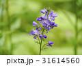 ハナシノブ はなしのぶ 紫の花の写真 31614560