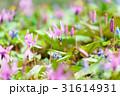 カタクリ エゾエンゴサク 花の写真 31614931