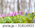カタクリ エゾエンゴサク 花の写真 31614933