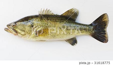 オオクチバス(通称:ブラックバス) アメリカ原産の外来魚 釣りに大人気 特定外来生物指定 31618775
