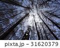 カラマツ 木 林の写真 31620379