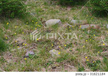 信州 美ヶ原高原に咲くミヤマキンバイの開花群生 バラ科の多年草で本州中部以北に自生する高山植物 31621184