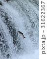 魚 サクラマス 滝登りの写真 31622367