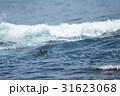 荒波に浮かぶラッコ 31623068