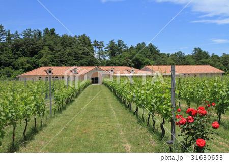 北アルプス山麓ワイン用ブドウ畑 初夏 31630653