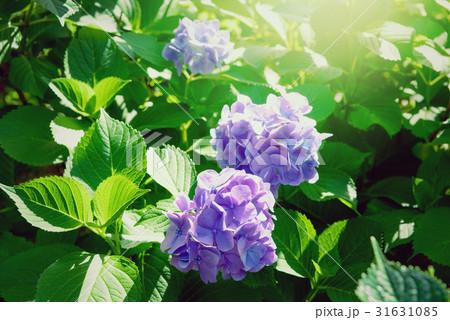 紫陽花 31631085