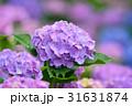 紫陽花 花 アップの写真 31631874