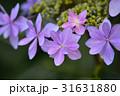 紫陽花 花 アップの写真 31631880