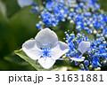 紫陽花 花 アップの写真 31631881