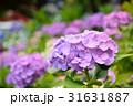 紫陽花 花 アップの写真 31631887