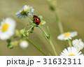 てんとう虫 天道虫 昆虫の写真 31632311