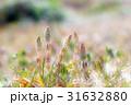 土筆 つくし 山菜の写真 31632880