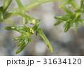 オカヒジキ 31634120