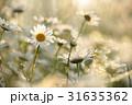 ヒナギク マーガレット 花の写真 31635362