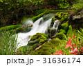 チャツボミゴケ公園 31636174