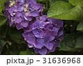 陽明山繡球花季 31636968