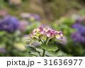 陽明山繡球花季 31636977