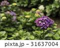 紫陽花 アジサイ あじさいの写真 31637004
