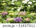 陽明山繡球花季 31637011