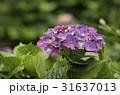 陽明山繡球花季 31637013