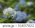 紫陽花 アジサイ あじさいの写真 31637022