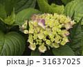 紫陽花 アジサイ あじさいの写真 31637025