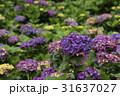 紫陽花 アジサイ あじさいの写真 31637027
