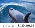 羅臼沖のシャチ 31640984