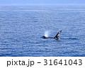 羅臼沖のシャチ 31641043