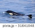 羅臼沖のシャチ 31641048