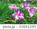 北山公園の花菖蒲 31641295