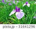 北山公園の花菖蒲 31641296
