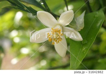 青島ミカンの花(温州みかん):浜松特産 31642862