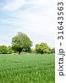緑も麦畑と遠くに見える大木と茶色い牛たち 31643563