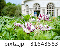 白と紫の縞模様の花と丸いガーデンハウス 31643583