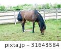 草を食べる茶色の馬 31643584