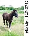 草原の中に立つ黒い子馬 31643762