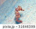 タツノオトシゴ 慶良間の海 31646399